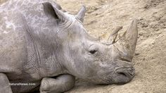 Will we lose the rhino in our lifetime? Three white rhinos were found slaughtered in a 'protected' reserve, some species are on the brink of extinction