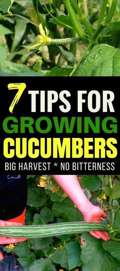Vegetable Gardening Tips: Growing cucumbers is a rewarding experience for any gardener. Learn these 7 tips for growing amazing cucumbers that produce well and taste amazing! #growingcucumbers