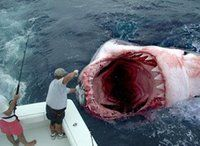 Megalodon Is Alive! Scientific Fishing Trip Reveals Evidence During Shark Week On Discovery Channel August 2013 FishCrack Megalodon. Great White Shark Attack, Big Shark, Shark Jaws, Scary Shark, Shark Diving, Shark Fish, Shark Swimming, Megalodon Shark, Wtf Fun Facts