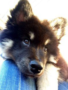 Finnish lapphund puppy, Chico