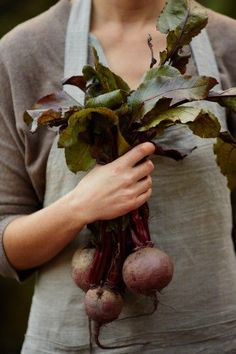 growing food  last of the beets coming out of the Fall ground   Chef Robin White