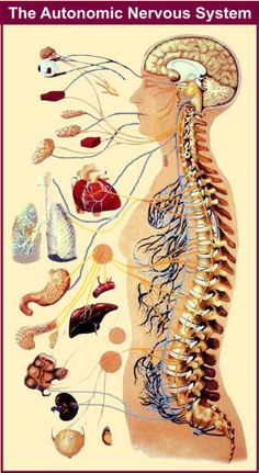 See how much the autonomic nervous system controls? Those of us with autonomic dysfunction have problems with the things that we don't control consciously- i.e. heart rate, blood pressure, breathing, circulation, digestion, nerve activity, body temperatre, eyes (which causes light sensitivity, blurred vision and vision disturbances) - a lot of things we don't normally think about. And we tire easily from this and feel PAIN intensely!