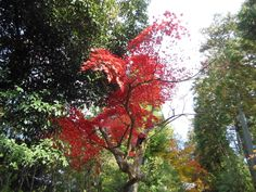 Mansyu-in  in Kyoto 曼殊院門跡 京都