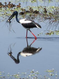 Wild Life Birds (Black-Necked Stork (Ephippiorhynchus asiaticus) feeding on fish Mumukala Wetland Copyright Michael J Barritt)