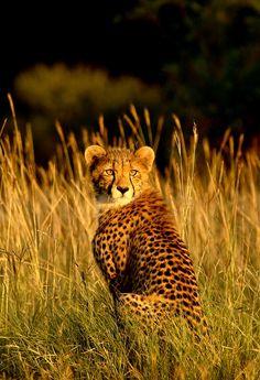 """Cheetah Cub in Golden light"" by Marius Coetzee"