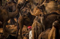 I took this photograph in the small town of Pushkar during the annual Pushkar ka Mela, or Pushkar Fair. Local folk gather from miles around to trade camels, horses and other livestock. I used a telephoto lens to achieve the perspective compression showing the density of camels and the most significant aspect of this festival - the relationship between camel and man. Taken by Chaitanya Deshpande