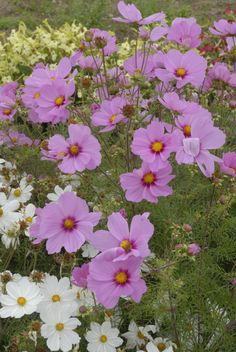 Cosmos Sensation 80-100 cm Dwarf, Plants, Plant, Dwarfism, Planting, Planets