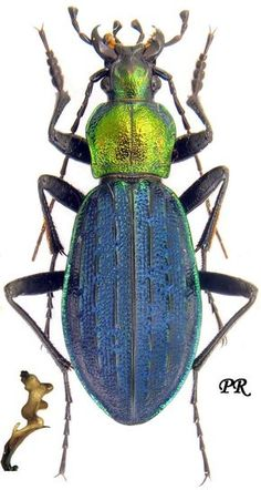 Carabus Megodontus kolbei kolbei 6685.jpg (745×1400)