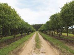 Solitärpflanzen/Schirmformen - VF-Pflanzen