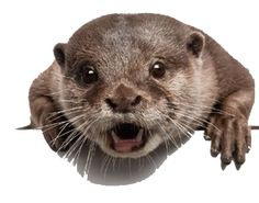 Otter News: The otter is a cunning and evil beast: Nemo and his fellows, now and in the past