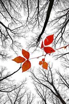 The last leaves of November