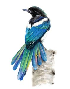 High quality giclée print of my original Magpie watercolor painting. Print will come signed and dated, safely packed in a protective sleeve with sturdy backing. Available in different sizes: - Print Magpie Tattoo, Pelican Drawing, Drawing Art, Bird Drawings, Horse Drawings, Art Reference Poses, Wildlife Art, Bird Art, Beautiful Birds