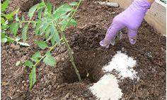 Les gens utilisent le sel d'Epsom depuis l'Antiquité pour de nombreuses raisons qui vont du jardinage au maintien de la santé. Mais, malgré son nom, le sel d'Epsom n'est en rien du sel. C'est un composé naturel constitué de magnésium et de sulfate. Il a obtenu son nom de la source saline à Epsom dans …