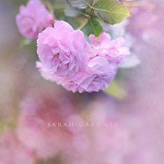 Evening Rose {Rousham Gardens}, via Flickr.