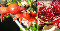 Cómo plantar y cultivar un granado en macetas Growing Vegetables, Container Gardening, Fruit, Plants, Food, Jade, Gardens, Plant Pots, Pomegranate Seeds