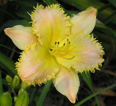 Hemerocallis 'Lemon Fringed Pastel' Flickr - Photo Sharing!