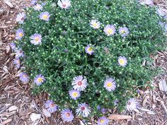 Purple Aster in mid-bloom...