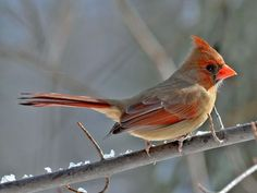 Female Cardinal - much more brownish than the males, they are often seen together as pairs.  Their distinctive chirp and call gives them away.  We can hear them calling to each other.  They love bird baths.