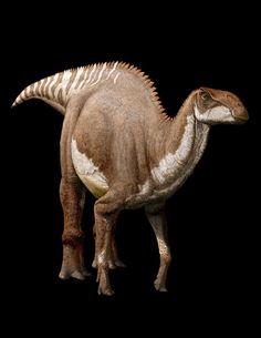 Brachylophosaurus; Late Cretaceous, 76.5 Ma; Ornithopoda (hadrosaur); Described by Sternberg, 1953