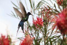 Beija-flor Tesoura (Eupetomena macroura) - Swallow-tailed Hummingbid 2 592 - 2 by Flávio Cruvinel Brandão, via Flickr