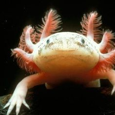 The Mexican Axolotl (pronounced ACK-suh-LAH-tuhl) salamander has the rare trait of retaining its larval features throughout its adult life. This condition, called neoteny, means it keeps its tadpole-like dorsal fin, which runs almost the length of its body, and its feathery external gills, which protrude from the back of its wide head.