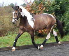 Sabino Horse | ... palamino foal??? at the Horse Breeding forum - Horse Breeding Forums