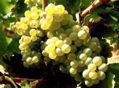 Las variedades de uva garnacha se han posicionado merecidamente en el mercado internacional, elevando el palmarés de premios a esta variedad a niveles casi estratosféricos. La blanca, es una de las más valoradas por los expertos de todo el mundo.