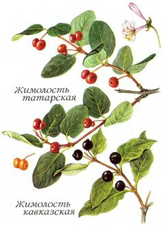lonicera tatarica - Google Search Plant Identification, Botany, Plant Leaves, Fall 2015, Woody, Plants, Image, Google Search, Plant