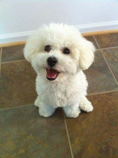 Pure Happiness - Adorable Bichon Frise Dog:                                                                                                                                                                                 More