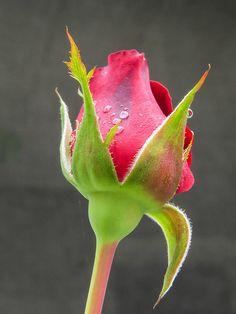 Title  Rose Bud  Artist  Zulfiya Stromberg  Medium  Photograph - Photographs