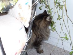Little Bear trimming the plants - not much if any Maine Coon there, but the way I found her was through a friend who saw her photo on Petfinder in 2004 and thought she might be MCC.  She's 16 years old now and having a great time.
