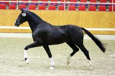 Hudson- Unbroken, KWPN stallion