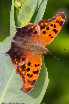 Question-Mark Butterfly [Polygonia interrogationis]