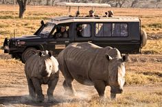 Rhinos in Nakuru National Park in Kenya. May is one of the most affordable months to take a safari.