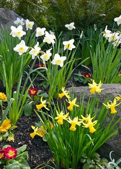 Daffodils William Wordsworth, Ga In, Primroses, Forest Garden, Tulips, Daffodil Flowers, Garden Images, Unique Gardens, Spring Garden