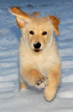 golden puppy in the snow