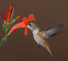 Hummingbird & Cape Honeysuckle Flower by Tm J
