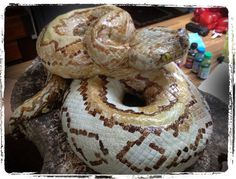 Hi all, after lots of questions and disbelief, here are some pics of how to make a snake cake… It took a while, but turned out better than i hoped and was a huge hit with the kids – so,… Cake Decorating Techniques, Cake Decorating Tutorials, Snake Cakes, Snake Party, Reptiles, Realistic Cakes, Cake Design, Sculpted Cakes, Animal Cakes