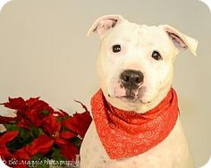Livonia, MI - American Bulldog/Pit Bull Terrier Mix. Meet Willow ♥, a dog for adoption. http://www.adoptapet.com/pet/9754574-livonia-michigan-american-bulldog-mix
