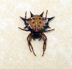 Crazy looking spider from the micrathena genus.