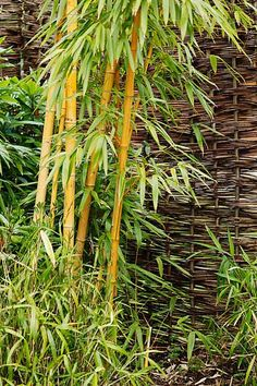 how to grow bamboo... things you need to know!