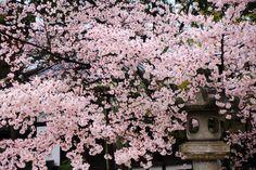 真如堂 桜 京都の名刹の優雅な桜