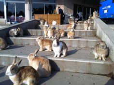 """See 683 photos from 2834 visitors about rabbit, scenic views, and hiking. """"See this photo. Now multiply it by The history of this island was. Jack Rabbit, Bunny Rabbit, Rabbit Island, I Wan, White Rabbits, Sick Kids, Hiroshima, Cute Bunny, Guinea Pigs"""