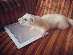 """""""Enough reading, now it's time to pay attention to Bumblebees"""" ❤️🐝❤️ #ferret…"""