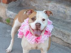 TO BE DESTROYED 7/10/14 Brooklyn Center   My name is IZZY. My Animal ID # is A1005119. I am a female tan and white pit bull mix. The shelter thinks I am about 5 YEARS old.  I came in the shelter as a OWNER SUR on 06/30/2014 from NY 11429, owner surrender reason stated was PERS PROB. I came in with Group/Litter #K14-184051.
