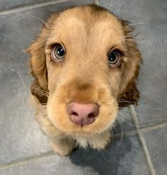 Puppy Discover Meet Winnie The Cocker Spaniel With Puppy Eyes Becomes An Internet Sensation The cocker spaniel Winnie has become an online sensation for having gorgeous large expressive eyes that has the online user talking about it relentlessly. Cute Little Animals, Cute Funny Animals, Cute Pets, Cute Little Puppies, Cocker Spaniel Puppies, Golden Cocker Spaniel, Collie Puppies, Cute Dogs And Puppies, Doggies