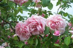 Rose 'Emmanuella de Mouchy'