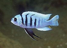 Cynotilapia afra blue reef - Cichlid Lovers Picture Page
