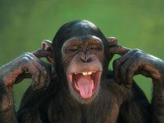Work with Chimpanzees, monkeys & Gorillas