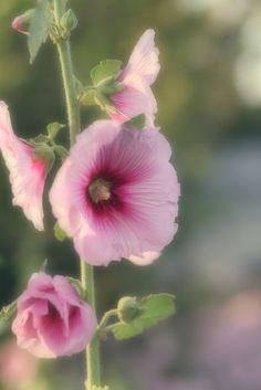 De stokroos mag natuurlijk niet ontbreken in een landelijke en romantische tuin.